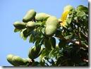 algarrobo frutos verdes